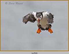 puffin- 68.jpg