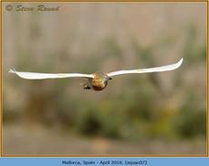 squacco-heron-07.jpg