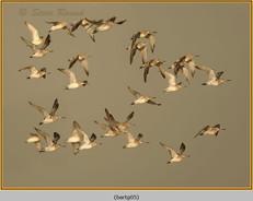 bar-tailed-godwit-05.jpg
