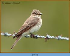 spotted-flycatcher-22.jpg