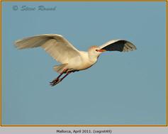 cattle-egret-49.jpg