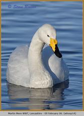whooper-swan-14.jpg