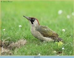 green-woodpecker-15.jpg