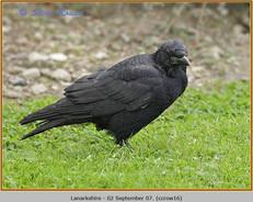 carrion-crow-16.jpg