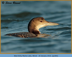 great-northern-diver-66.jpg