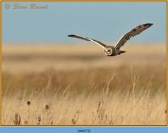 short-eared-owl-73.jpg