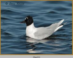 little-gull-33.jpg