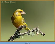 greenfinch-75.jpg