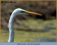great-white-egret-44.jpg