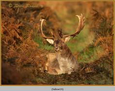 fallow-deer-19.jpg