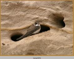 sand-martin-05.jpg