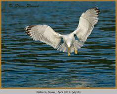 yellow-legged-gull-10.jpg