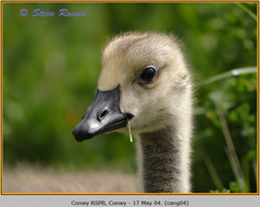 canada-goose-04.jpg