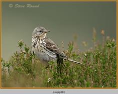 meadow-pipit-28.jpg