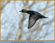 common-scoter-09.jpg