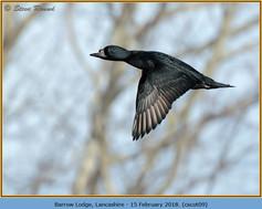common-scoter-09.jpg