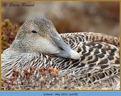 eider-duck- 78.jpg