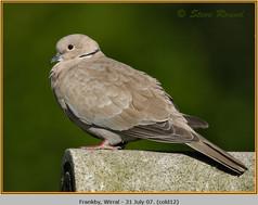 collared-dove-12.jpg