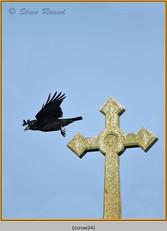 carrion-crow-24.jpg
