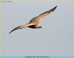 griffon-vulture-71.jpg
