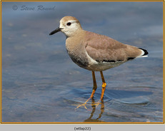 white-tailed-lapwing-22.jpg