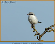great-grey-shrike-06.jpg