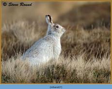 mountain-hare-07.jpg