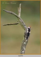 gt-s-woodpecker-09.jpg