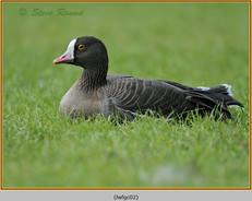 lesser-white-fronted-goose-02c.jpg