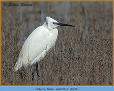 little-egret-74.jpg