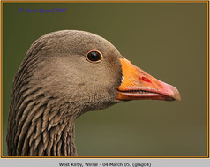 greylag-goose-04.jpg