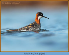 red-necked-phalarope-13.jpg