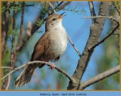 cettis-warbler-16.jpg