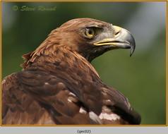 golden-eagle(c)-02.jpg