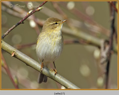 willow-warbler-27.jpg