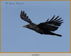 carrion-crow-25.jpg