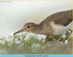 common-sandpiper-37.jpg