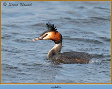 great-crested-grebe-49.jpg