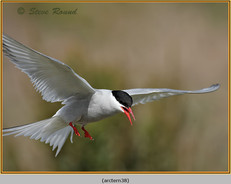arctic-tern-38.jpg