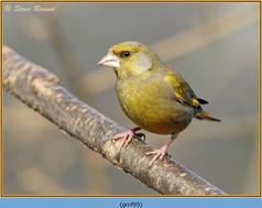 greenfinch-95.jpg