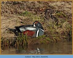 harlequin-duck-39.jpg
