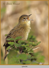 grasshopper-warbler-28.jpg