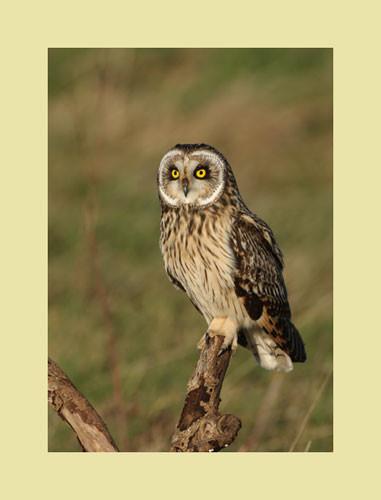 mounted-print-short-eared-owl-02.jpg