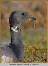 brent-goose-12.jpg