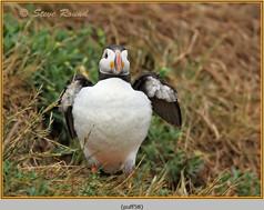 puffin- 58.jpg