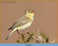 willow-warbler-36.jpg