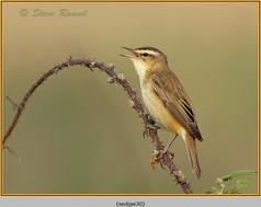 sedge-warbler-30.jpg
