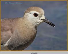 white-tailed-lapwing-24.jpg