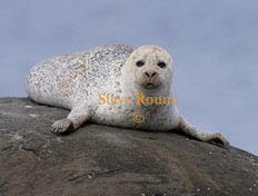 common-seal-01.jpg