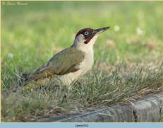 green-woodpecker-32.jpg
